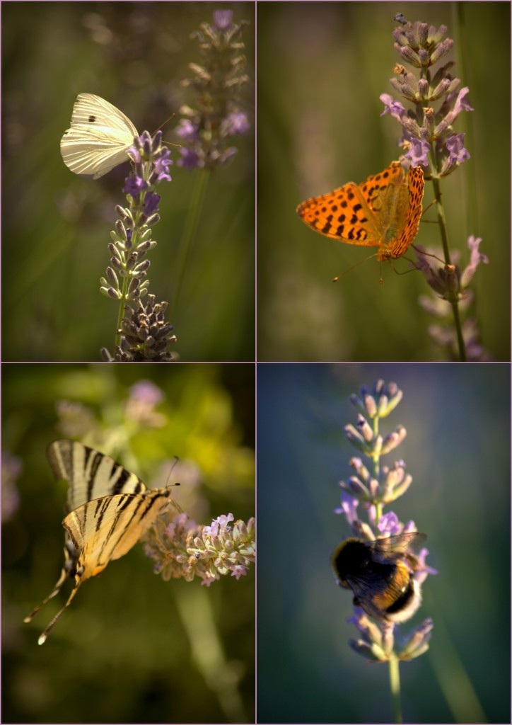1-farfalle